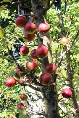 Verkauf alter Apfelbaumsorten